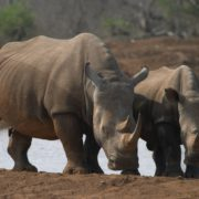 Slight decrease in rhino poaching stats