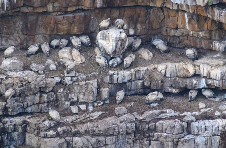 Sanral monitors cape vulture colony