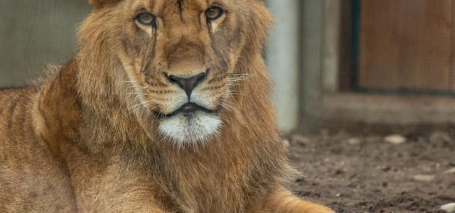 French lions released in Eastern Cape